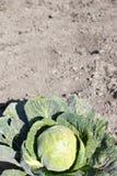 να αναπτύξει λάχανων κεφάλ&io Στοκ εικόνα με δικαίωμα ελεύθερης χρήσης