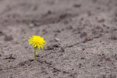 να αναπτύξει λουλουδιών νεαρός βλαστός κίτρινος Στοκ φωτογραφίες με δικαίωμα ελεύθερης χρήσης