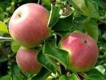 να αναπτύξει μήλων Στοκ Φωτογραφία