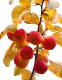 να αναπτύξει μήλων Στοκ εικόνες με δικαίωμα ελεύθερης χρήσης