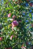 να αναπτύξει μήλων Στοκ φωτογραφία με δικαίωμα ελεύθερης χρήσης