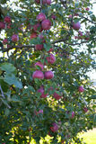 να αναπτύξει μήλων Στοκ εικόνα με δικαίωμα ελεύθερης χρήσης