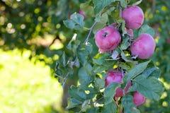 να αναπτύξει μήλων Στοκ Φωτογραφίες