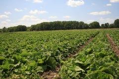 να αναπτύξει πεδίων λάχανων λαχανικό Στοκ Εικόνες