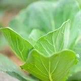 να αναπτύξει πεδίων λάχανων φύλλα Στοκ Εικόνες