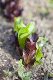Να αναπτύξει σαλάτας Στοκ εικόνα με δικαίωμα ελεύθερης χρήσης