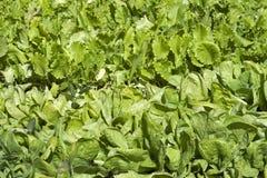 Να αναπτύξει το μαρούλι στις σειρές στο φυτικό κήπο Στοκ Εικόνες