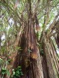 Να ανατρέξει ένα δέντρο Banyan Στοκ εικόνα με δικαίωμα ελεύθερης χρήσης