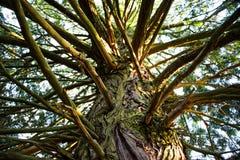 Να ανατρέξει - κορμός ενός παλαιού ψηλού δέντρου Στοκ εικόνες με δικαίωμα ελεύθερης χρήσης