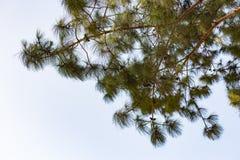Να ανατρέξει σε ένα δέντρο πεύκων με το σαφή ουρανό κανένα σύννεφο επάνω από το Στοκ εικόνες με δικαίωμα ελεύθερης χρήσης