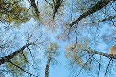 Να ανατρέξει στον ουρανό στο δάσος σημύδων Στοκ φωτογραφίες με δικαίωμα ελεύθερης χρήσης