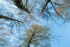 Να ανατρέξει στον ουρανό στο δάσος σημύδων Στοκ Εικόνα