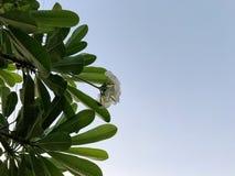 Να ανατρέξει στο δέντρο Plumeria και το άσπρο λουλούδι Στοκ Εικόνες