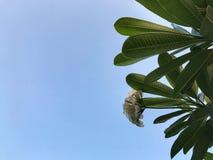 Να ανατρέξει στο δέντρο Plumeria και το άσπρο λουλούδι Στοκ φωτογραφίες με δικαίωμα ελεύθερης χρήσης