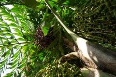 Να ανατρέξει Areca του φοίνικα ή betel καρυδιών - καρύδια Στοκ εικόνα με δικαίωμα ελεύθερης χρήσης