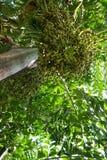 Να ανατρέξει Areca του φοίνικα ή betel καρυδιών - καρύδια Στοκ φωτογραφία με δικαίωμα ελεύθερης χρήσης