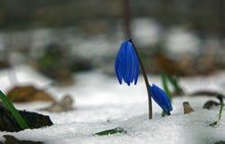 Να ανεβεί Snowdrop από το χιόνι Στοκ Φωτογραφία