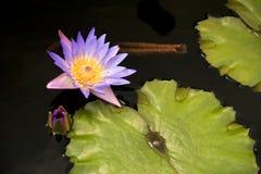 να ανθίσει lilly μαξιλάρι Στοκ φωτογραφίες με δικαίωμα ελεύθερης χρήσης