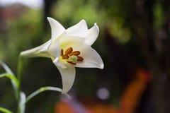Να ανθίσει lilly Στοκ Φωτογραφίες