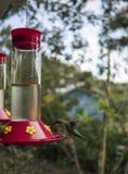 Να βουίσει κατανάλωση πουλιών από τον τροφοδότη Στοκ φωτογραφία με δικαίωμα ελεύθερης χρήσης
