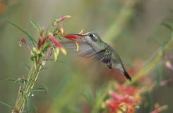 Να βουίσει σίτιση πουλιών από το λουλούδι Στοκ φωτογραφίες με δικαίωμα ελεύθερης χρήσης