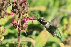 Να βουίσει σίτιση πουλιών από το λουλούδι Στοκ φωτογραφία με δικαίωμα ελεύθερης χρήσης