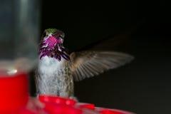 Να βουίσει σίτιση πουλιών Στοκ εικόνες με δικαίωμα ελεύθερης χρήσης