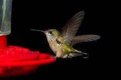 Να βουίσει σίτιση πουλιών Στοκ φωτογραφία με δικαίωμα ελεύθερης χρήσης