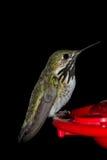 Να βουίσει σίτιση πουλιών Στοκ Εικόνα