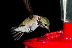 Να βουίσει σίτιση πουλιών Στοκ Φωτογραφία