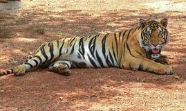 Να βρεθεί Βεγγάλη τίγρη στοκ φωτογραφία