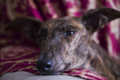 Να βρεθεί κεφάλι σκυλιών ` s σε ένα μαξιλάρι Στοκ Εικόνες