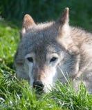 να βρεθεί χλόης λύκος πορ Στοκ φωτογραφία με δικαίωμα ελεύθερης χρήσης