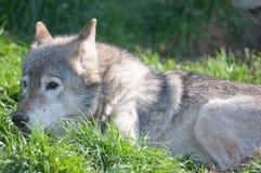 να βρεθεί χλόης λύκος Στοκ φωτογραφία με δικαίωμα ελεύθερης χρήσης