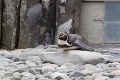 Να βρεθεί penguin Στοκ φωτογραφία με δικαίωμα ελεύθερης χρήσης