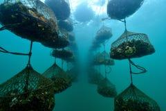 να είστε αγροτικό κρατημένο ψαράδες στρείδι που πωλείται Στοκ φωτογραφίες με δικαίωμα ελεύθερης χρήσης
