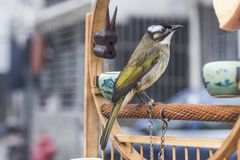 να είστε ελεύθερο ι που θέλει Ένα πουλί με ένα σχοινί σε ένα πόδι κοιτάζει προς τα εμπρός στοκ εικόνα
