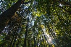 Να εξετάσει επάνω ένα δάσος πεύκων στο μπλε ουρανό στοκ εικόνες