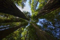 Να εξετάσει επάνω ένα Sequoia δάσος Στοκ Εικόνες