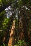 Να εξετάσει επάνω ένα Sequoia δάσος Στοκ φωτογραφία με δικαίωμα ελεύθερης χρήσης