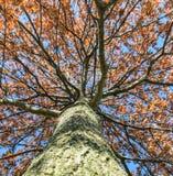 Να εξετάσει επάνω δρύινο ηλιοβασίλεμα δέντρων befire Στοκ φωτογραφίες με δικαίωμα ελεύθερης χρήσης