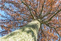 Να εξετάσει επάνω δρύινο ηλιοβασίλεμα δέντρων befire Στοκ εικόνα με δικαίωμα ελεύθερης χρήσης