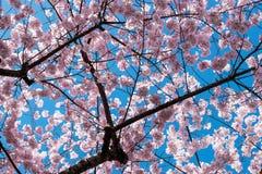 Να εξετάσει επάνω τα άνθη κερασιών στοκ φωτογραφία με δικαίωμα ελεύθερης χρήσης