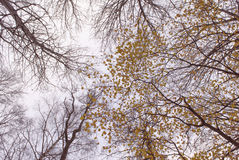 Να εξετάσει επάνω τα δέντρα και τους κλάδους φθινοπώρου Στοκ Εικόνες