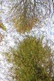Να εξετάσει επάνω τα δέντρα κυπαρισσιών το φθινόπωρο Στοκ Φωτογραφία