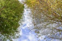 Να εξετάσει επάνω τα δέντρα κυπαρισσιών το φθινόπωρο Στοκ Εικόνες