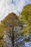 Να εξετάσει επάνω τα δέντρα κυπαρισσιών το φθινόπωρο Στοκ Εικόνα