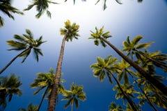 Να εξετάσει επάνω τους δονούμενους της Χαβάης φοίνικες ενάντια σε έναν βαθύ μπλε ουρανό Στοκ Εικόνες