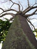Να εξετάσει επάνω το ψηλό δέντρο Στοκ Εικόνες