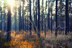 Να εξισώσει τον ήλιο ρύθμισης μέσω των δέντρων στο δάσος Στοκ φωτογραφία με δικαίωμα ελεύθερης χρήσης